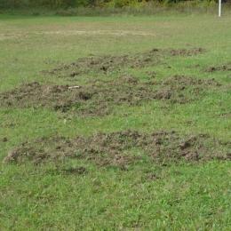 Dziki zniszczyły boisko...